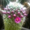 2009年4月9日。今年もサボテンの開花が始まった。