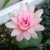 2009年6月23日。本体よりも大きい花。見事。